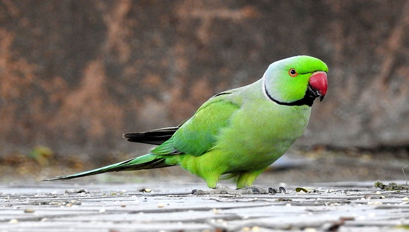 Woman loses Rs 71,000 in online parrot chase